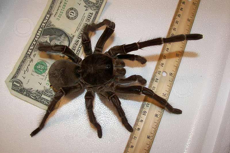 Grootste spin ter wereld, de Goliath vogelspin