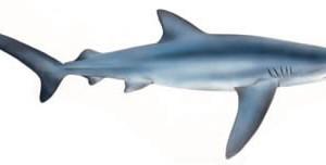 Grote blauwe haai, dodelijke haaien top 10