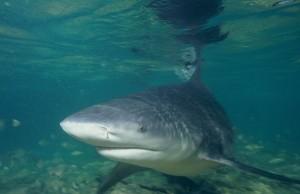 Stierhaai, de meest dodelijke haaien
