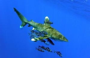 De witte tip haai, de meest dodelijke haaien