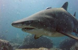 dodelijke haaien top 10, De zandtijgerhaai
