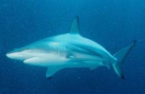 dodelijke haaien top 10, Zwartpunthaai, meest dodelijke haaien