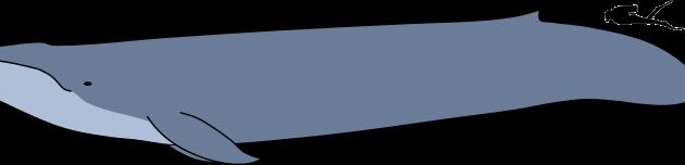 Grootste dieren ter wereld: de blauwe vinvis