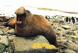 De zeeolifant, De grootste dieren ter wereld