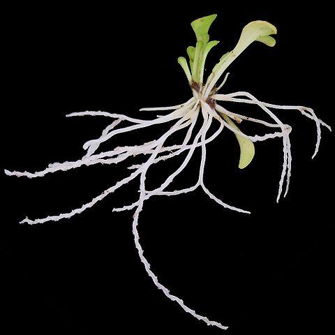 Genlisea violacea val en bladeren