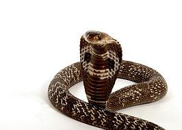 Indiase Cobra