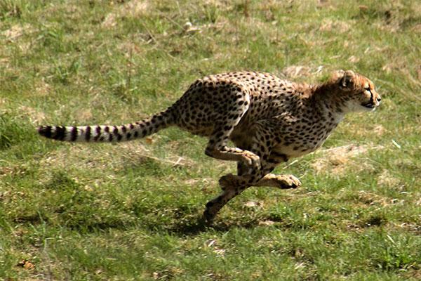 Wat zijn de snelste dieren in de wereld
