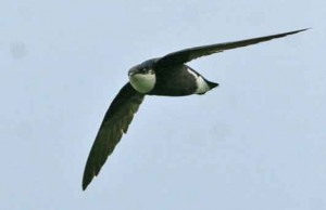 Gierzwaluw
