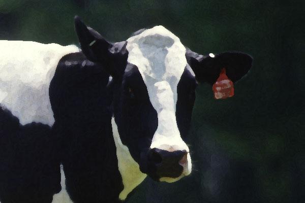 Gelukkige koeien geven meer melk blijkt uit onderzoek