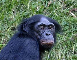 Bonobo, Alle homoseksuele dieren op een rij