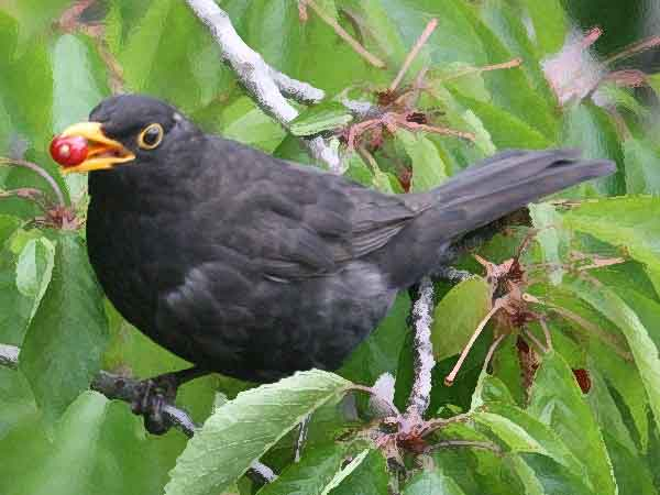 Meest voorkomende vogel in Nederland is de merel