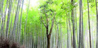 Mooiste bos ter wereld is het Sagano Bamboo Forest in Japan