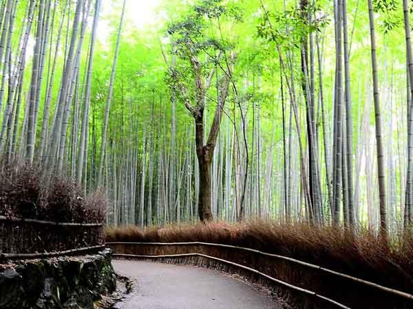 Mooiste bos ter wereld is het Sagano Bamboo Forest in Japan  (top 10 met video)