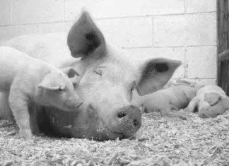 Alle spreekwoorden, gezegden en uitdrukkingen met het woord varken