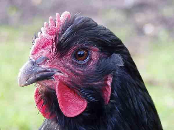 Alle spreekwoorden, gezegden en uitdrukkingen met het woord kip