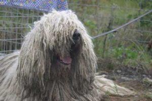 Komondor of Hongaarse herdershond
