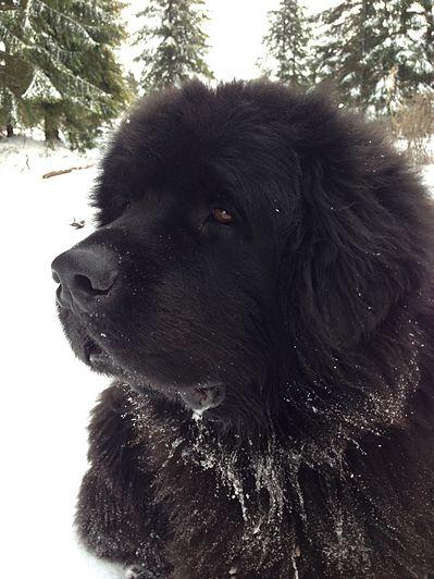 Zwaarste hondenrassen ter wereld - Newfoundlander