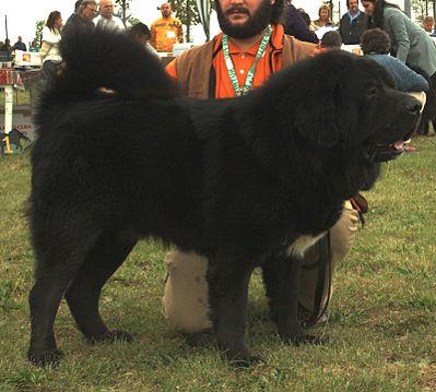Tibetaanse mastiff – Prijzen: van € 6.000,- tot wel € 6.300,-