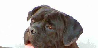 Top 25 Grootste hondenrassen ter wereld