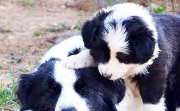 Slimste hond ter wereld is de Border Collie