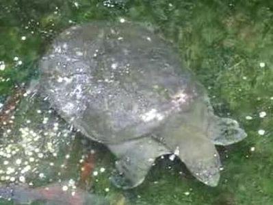 Yangtze-weekschildpad
