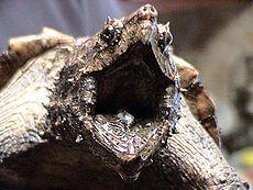 Alligatorschildpad