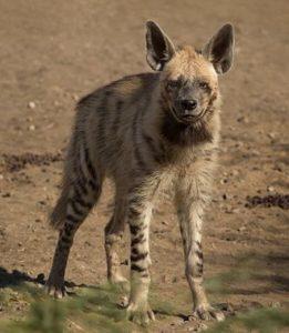 Gestreepte hyena