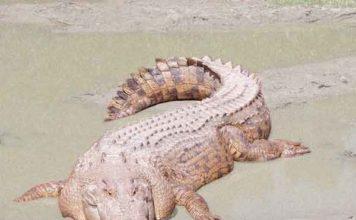 Zeekrokodil: Dieren die het hardst bijten - De top 20