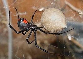 Zwarte weduwe - Latrodectus Mactans