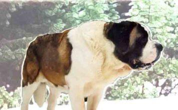 Zwaarste hondenrassen ter wereld - de top 10