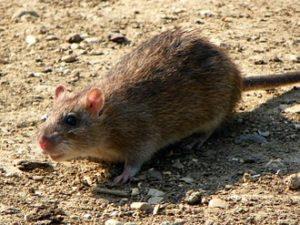 Dieren met het beste gehoor - Rat