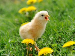 Wie eten het meeste kip in de wereld? De Top 58