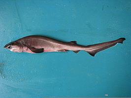 Grootste haaien ter wereld: Stompsnuitzeskieuwshaai