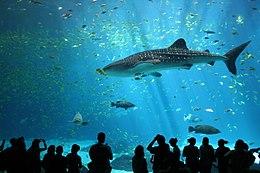 Grootste haaien ter wereld: Walvishaai