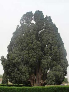Cypress van Abarkuh