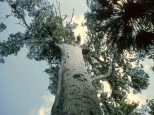 The Senator in 1967 - Oudste bomen ter wereld