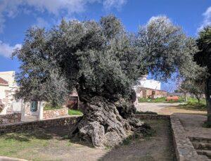 Olijfboom van Vouves - Kreta