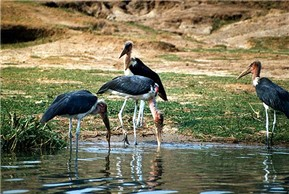 Afrikaanse maraboe
