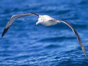 Vogels met de grootste spanwijdte: de grote albatros