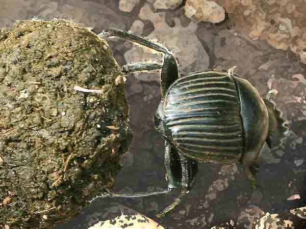 De mestkever: Sterkste dieren ter wereld - De top 10