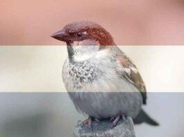 Meest voorkomende vogel in Nederland
