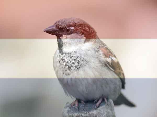 25 Meest voorkomende vogel in Nederland 2021 (in je tuin dan wel)