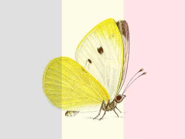 Klein koolwitje- Nr. 1 meest voorkomende vlinders in België 2020