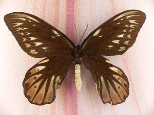 Alexandra's vogelvlinder