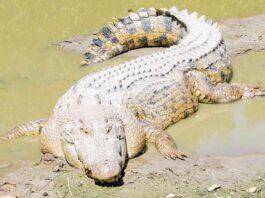 Zoutwaterkrokodil - Grootste reptielen ter wereld