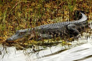 Mississippialligator