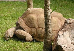 Seychellenreuzenschildpad