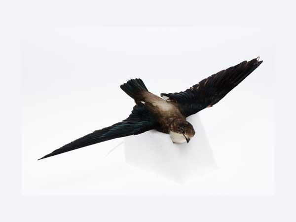 Snelste vogels ter wereld – Top 10 met tekst & afbeeldingen