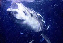 Zwaarste vissen ter wereld - Nr. 1 de walvishaai