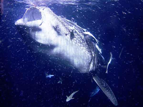 10 Zwaarste vissen ter wereld